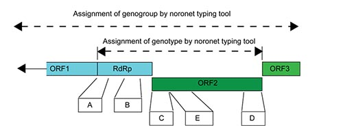 Regions used for genotyping of noroviruses